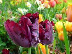 tulpenroute in de noordoostpolder