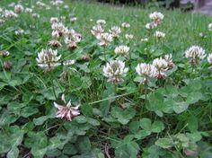 Jetel plazivý (Trifolium repens) Plants, Plant, Planets