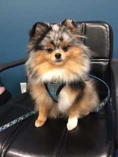 Sprout on the set. The cutest pom!                                                                                                                                                     More #pomeranian