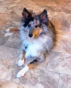 Sheltie Nation | Largest Community of Sheltie Lovers on the Net!