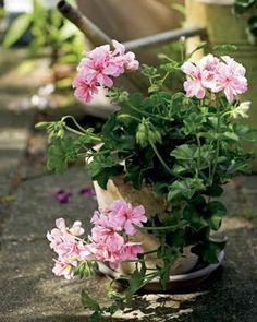 Samos. Riippapelargonit ovat suosittuja parvekekukkia | Tunne pelargonit | Koti ja puutarha