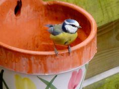 Blue Tit on flowerpot