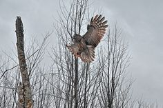 Great Grey Owl Landing On A Tree