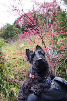 """""""Rugged"""" is his middle name. Backpacking in The Highlands with my Scottie. All Dogs, I Love Dogs, Best Dogs, Cute Dogs, Dogs And Puppies, Terrier Dogs, Cairn Terrier, Bull Terriers, Scottie Dogs"""