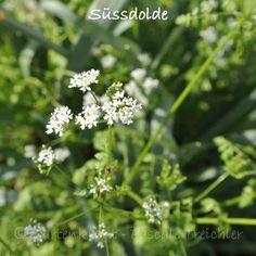 Essbare Blüten: Süssdolde – Myrrhis odorata