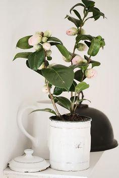 camellia in a pot//