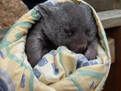 Aww and the cute little wombat! Haha I just wanted to see what they both looked like Cute Creatures, Beautiful Creatures, Baby Animals, Cute Animals, Pet Camera, Australia Animals, Quokka, Creature Feature, Animals Images