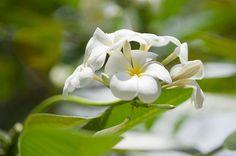 Thailand, Koh Phangan, Plumeria alba blossom