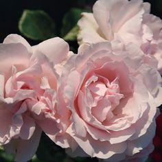 First Crush™ Parfuma® Floribunda Rose