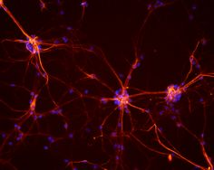 Researchers from McGill University have artificially connected two neurons in the lab, the first step to creating a neural network.