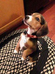 So very very sweet!(Beagle Mix So Cute)