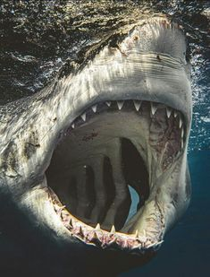 Deadly Animals, Dangerous Animals, Shark Diving, Shark Swimming, Whale Sharks, Padi Diving, Scuba Diving, Animals Beautiful, Cute Animals