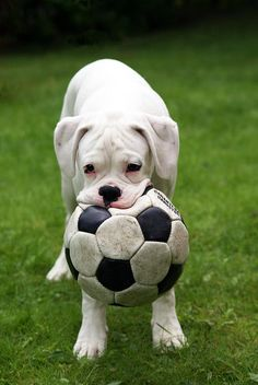 What happens when your husband gets on your pinterest app?  YOu have dogs in your food board.  white boxer with soccer ball