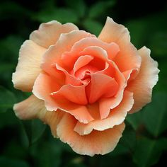 Just Joey - Large decorative coppery orange to buff blooms with waved and frilled petals.  Strong tough growth.   The unique coloured flowers are sweetly scented.  One of the World's favourite roses, inducted into the Rose Hall of Fame in 1994.