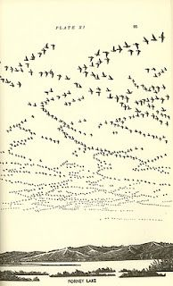 migration from Waterfowl in Iowa, by Jack and Mary Musgrove; illustrated by Maynard F. Reece, 1943