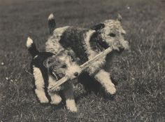 https://flic.kr/p/Mbh6 | two dogs and a stick, 1930s | Found in Brighton.