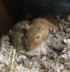 Degu, Super Cute Animals, Gerbil