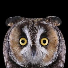 Long-eared Owl Size: 15 inches tall; half a pound Range: North America, Europe, Asia, and locally in North Africa, with some wintering south to Mexico and southern China The Long-eared Owl is a frequent target for other birds of prey, including Great Horned Owls and Barred Owls. When facing a formidable threat, it has a few tricks up its wing. It might pull in its plumage and stand up straight, elongating its body to look more imposing.