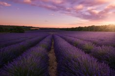 The last light of the day touches a lavender field in Provence, France. #Campi #Clouds #DramaticSunset #fineart #Fields #fineartphotography #Francia #France #Glow #landscape #Glowing #landscapephotography #lavender #Lavanda #LavenderFields #marcoromani #travel #Riez #Provenza #Purple #SunRays #marcoromaniphotography #outdoorphotography #Sunset #Provence #Valensole #Nikon #Feisol #Nikkor #NikonD800