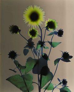 Adam Fuss  Sunflower  1995