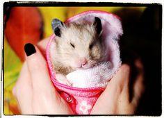 asta da hamster