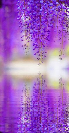 Reflection - Wisteria in Tokyo, Japan