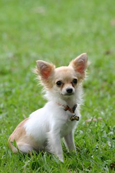 Chihuahuas tend to develop deep attachments to those they love and enjoy spending lots of time with them. They do not do well when left alone for long periods of time and may develop problem behaviors. If you can offer your dog lots of love, attention, and care, the tiny-bodied, big-hearted Chihuahua might be the right breed for you.