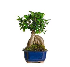 The Ginseng Grafted Ficus Bonsai Trees from Nursery Tree Wholesalers are the embodiment of strength and are world renown for their exposed, thick roots that give the tree an exotic look. These trees h