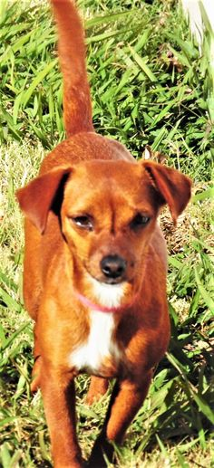 Meet Liberty in TN (Dachshund/Miniature Pinscher mix) - an adoptable pet Dog