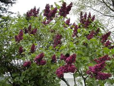my next door neighbors growing up had a lilac tree that spilled over into our yard. in this exact, deep purple color. i always thought to myself that i'd want them in my future wedding. Shade Shrubs, Trees And Shrubs, Trees To Plant, Deep Purple Color, Purple Lilac, Magenta, Lilac Tree, Lilac Bushes, Syringa
