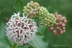 BEAUTIFUL SHOWY MILKWEED ASCLEPIAS SPECIOSA   -  MILKWEEDS ARE HIGHLY IMPORTANT NATIVE PLANTS THAT BENEFIT MANY BUTTERFLIES AND POLLINATORS.