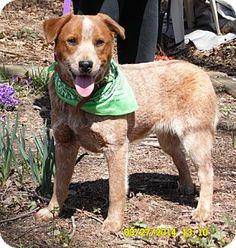 Sussex, NJ - Australian Shepherd Mix. Meet O'reilly a Puppy for Adoption.