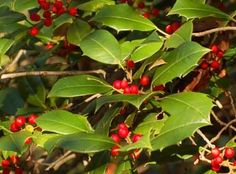 American Holly-Delaware State Tree. Delaware designated American holly (Ilex opaca Aiton) as the official state tree in 1939. Also called Christmas holly or evergreen holly, American holly is regarded as one of Delaware's most important forest trees.