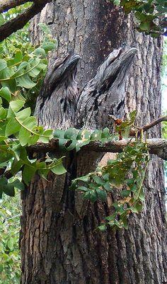 352px-10.jpg (352×599) Podargue gris, http://chatsdemoncoeur.forumactif.org/t3875-podarge-gris-d-australie  Le Podarge gris (Podargus strigoides) est une espèce de podarge originaire du continent australien, de Tasmanie et accessoirement du sud de la Nouvelle-Guinée. On croit souvent qu'il s'agit d'une chouette mais il n'en a pas la puissance des griffes. On le trouve souvent dans les bois d'eucalyptus.