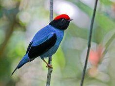 Swallow tailed  manakin