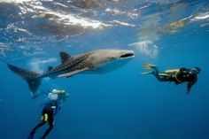 Diving with Whale Sharks, Maldives, Liveaboards