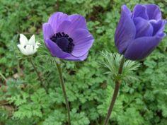 Anemone corinaria, zomerbol, vele rassen gekweekt, tussen lage vast planten of in potten