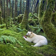 I sat down at a campfire recently listen to stories from fellow adventurers and to share one that's close to my heart about an encounter with the elusive Spirit Bear.  This was that special moment where I realized that after months of searching, this bear was going to let me into his world and allow me to capture those intimate moments that help connect people to a beautiful landscape.