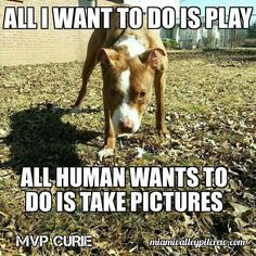 39 Best Pit Bull Memes images in 2016 | Pitt Bulls, Cutest animals