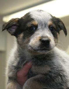 Meet Roman, an adoptable Australian Cattle Dog (Blue Heeler) looking for a forever home. If you're looking for a new pet to adopt or want information on how to get involved with adoptable pets, Petfinder.com is a great resource.