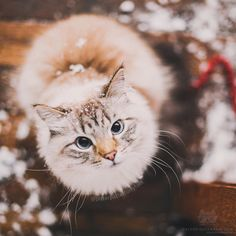 """From @pitterpatterfurryfeet: """"Finnegan wonders if winter will ever end. He try could snuggling up with his older half-sister Alice, or with his younger (puppy) brother Oliver…surely either option would take that frown off his face! (Photo by @monicasisson)"""" #twitterweek #catsofinstagram ––– #TwitterWeek: Follow us on Twitter for a chance to be featured this week! [source: http://ift.tt/20M6eBT ]"""