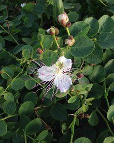 Caper flower, Menorca.