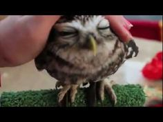 Owls are the cutest! And this little guy loves snuggles! I want him!!!
