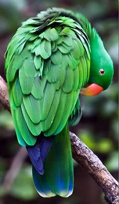 Male Eclectus Parrot - native to the Solomon Islands, New Guinea, northeastern Australia and the Maluku Islands (Moluccas).