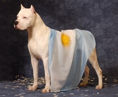 "DOGO ARGENTINO, argentinian national breed dog... ... ... ... ""With Love, The Argentina Family~ Memories of Tango and Kugel; Mate with Knishes"" - Available on Amazon"