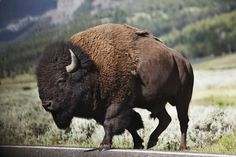 Just in case you have forgotten what one looks like.Mark Lein: Headed For Yellowstone National Park Buffalo S, Buffalo Animal, Buffalo Bulls, American Bison, American Animals, Buffalo Pictures, Bison Pictures, Eging Am See, Yellowstone National Park