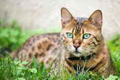 Zespół nabytego niedoboru immunologicznego kotów