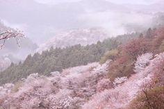 ぽめお@ナルサス @pomeoooo  4月9日 美しすぎる吉野山の桜を見てくれ
