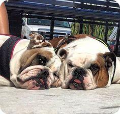 Miami, FL - English Bulldog. Meet Paris, a dog for adoption. http://www.adoptapet.com/pet/13756178-miami-florida-english-bulldog