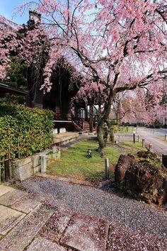 妙満寺の大書院前の満開のしだれ桜